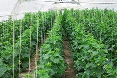 Om komkommers in de serre schone vriend ecologisch te kweken Stock Afbeelding