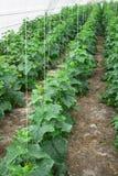 Om komkommers in de serre schone vriend ecologisch te kweken Royalty-vrije Stock Foto