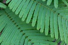 OM lub liście warzywa rośliny Chrustowy zielony drzewo akaci Pennata lub pięcia zdjęcie royalty free