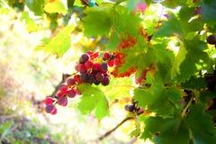 om odosobnione waite czerwonego wina Zdjęcie Stock