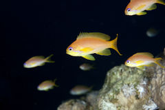 Oman anthias Royalty Free Stock Photos