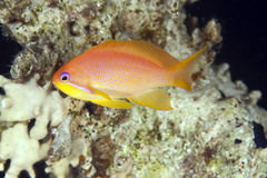 Oman anthias Royalty Free Stock Images