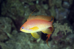 Oman anthias Stock Photo