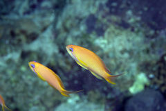 Oman anthias Royalty Free Stock Photography