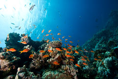 Oman Anthias Stock Photos