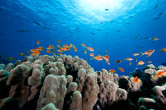 Oman anthias, coral and ocean Stock Photography
