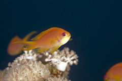 Oman anthias (pseudanthias marcia) Royalty Free Stock Photo
