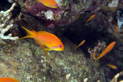 Oman anthias (pseudanthias squamipinnis). stock images