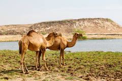 in oman camel  empty quarter of desert a free dromedary near the Stock Photo