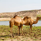 in oman camel  empty quarter of desert a free dromedary near the Royalty Free Stock Photography