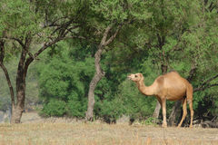 Oman: Camel on a pasture stock images