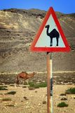 Oman: Camel Warning with real camel Royalty Free Stock Images