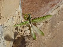 Oman, Salalah, close-up view of a praying mantis about to fly with spread wings Stock Photography