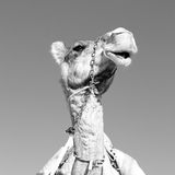 in oman empty quarter of desert a free dromedary near the  sky Stock Photo
