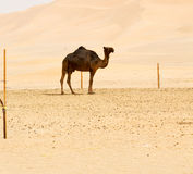 in oman  free dromedary Royalty Free Stock Photography