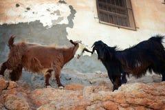 Oman: Goat buddies Stock Photo