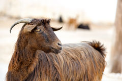 Oman goat Royalty Free Stock Image