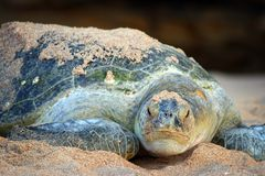 Oman: Green Turtle. Green turtle was crawling back to ocean in Raz al Jinz turtle reserve in Oman after laying many eggs to the sandy beach royalty free stock image