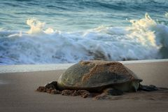 Oman: Green Turtle Royalty Free Stock Photo