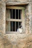 Oman katt Arkivbild