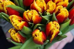 Oman novo que guarda tulipas Molde do vale-oferta, cartaz ou cartão - mulher que guarda o ramalhete das tulipas Imagens de Stock Royalty Free