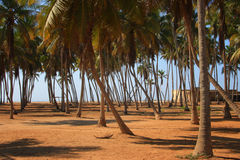 Oman: Palm trees in Salalah Royalty Free Stock Photography