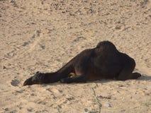 Oman, Salalah, die een zwarte kameel in de woestijn samenkomen stock afbeelding