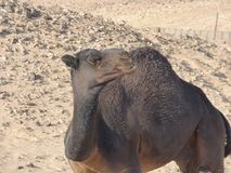 Oman, Salalah, meeting with a black camel in the desert. Stock Images