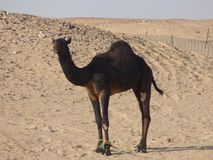 Oman, Salalah, meeting with a black camel in the desert. Royalty Free Stock Photography