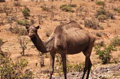 Omani camel. A camel in the mountains near the Omani city Salalah stock photography
