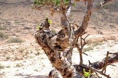 Omani frankincense tree. Omani frankincence tree (lat. Boswellia Sacra) in the Dhofar Mountains near Salalah stock image