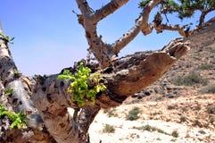 Omani frankincense tree. Omani frankincence tree (lat. Boswellia Sacra) in the Dhofar Mountains near Salalah royalty free stock photography