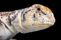 Omani Spiny-tailed Lizard (Uromastyx thomasi) Stock Photography