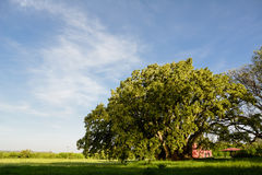 Ombù tree in the pampa field Royalty Free Stock Image