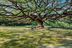 Ombra dell'albero gigante Fotografia Stock