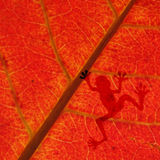 Ombra della rana sulla foglia rossa Immagini Stock Libere da Diritti