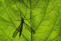 Ombra di Cranefly o delle papà-lungo-gambe fotografia stock