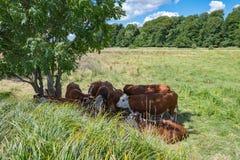 Ombra di ricerca del bestiame sotto un albero un giorno di estate caldo Fotografia Stock