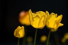 Ombra di un ragno che si nasconde dentro un tulipano giallo fotografia stock