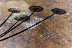 Ombre de quatre pissenlits Photographie stock