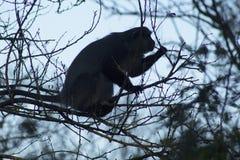 Ombre de Sykes Monkey Image stock