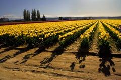 Ombre del tulipano Fotografia Stock Libera da Diritti