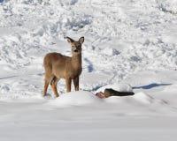 Ombre di inverno di Whitetailed Fotografia Stock