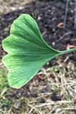 Ombre Gingko Leaf. Ombre fade green to yellow Gingko leaf Royalty Free Stock Photos