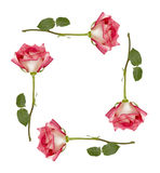 Ombre Roses Frame Stock Photo