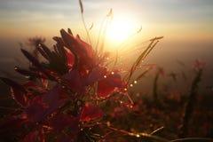 Ombre rouge-rose de fleur de trompette de rosyin de nature devant les rayons d'or de la lumière d'aube brillant par le parc natio image libre de droits