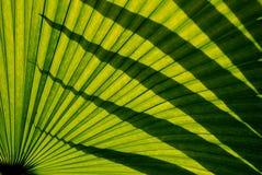 Ombre sulla fronda della palma Fotografia Stock