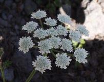Ombrello bianco dello sbocciare goutweed Fine in su Macro Fondo di verdure del fiore orizzontalmente Fotografia Stock Libera da Diritti