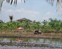 Ombrello dell'agricoltore di Cilourful nel giacimento d'aratura del riso Immagini Stock Libere da Diritti