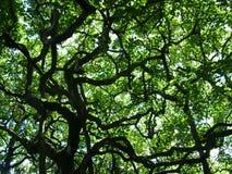 Ombrello della cima d'albero Fotografia Stock